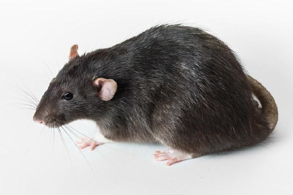 image of rat in hvac ductwork